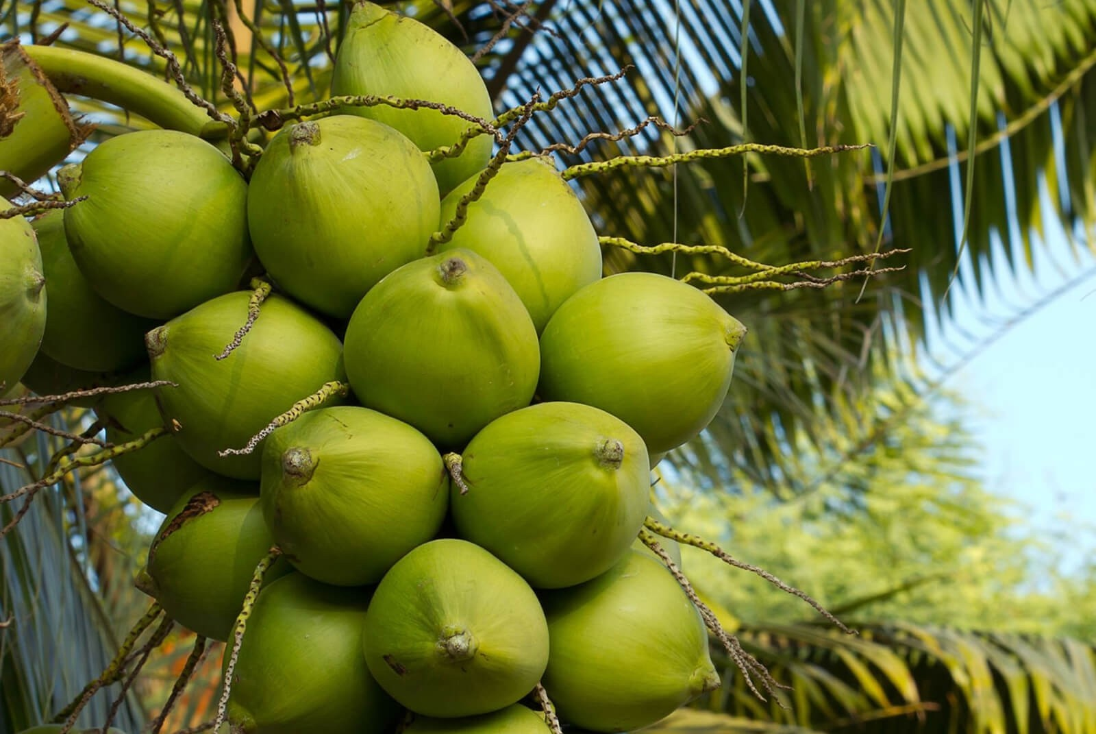 Rajski Kokos - organiczny zabieg z olejem kokosowym  pochodzącym z  upraw Archipelagu Filipińskiego 90 minut