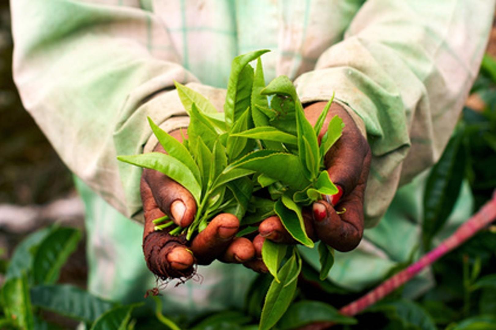 Zielona Herbata moc oczyszczenia - rytuał o pięknym zapachu organicznej herbaty 120 minut - dla dwojga